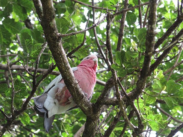a Galah in a Puriri tree
