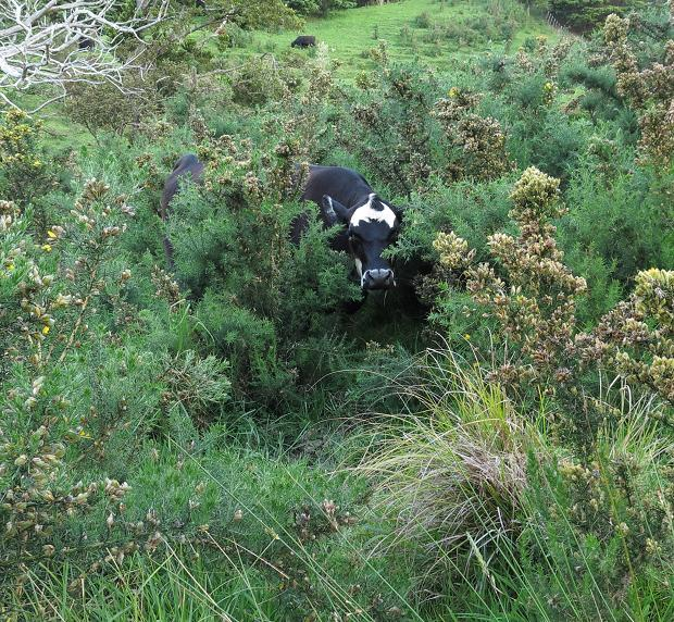 cow in gorse
