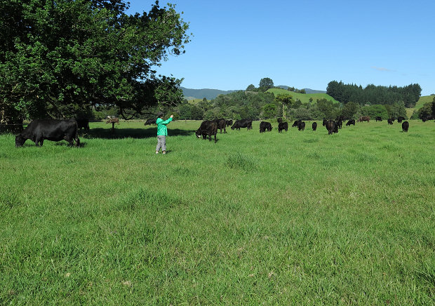 visitor and Angus cattle