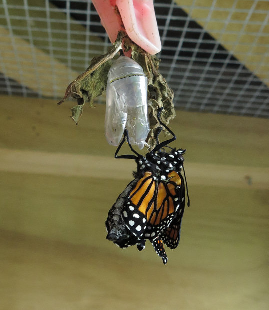 emerging Monarch Butterfly