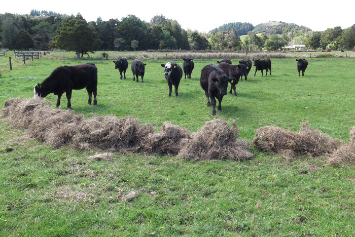 Angus yearlings