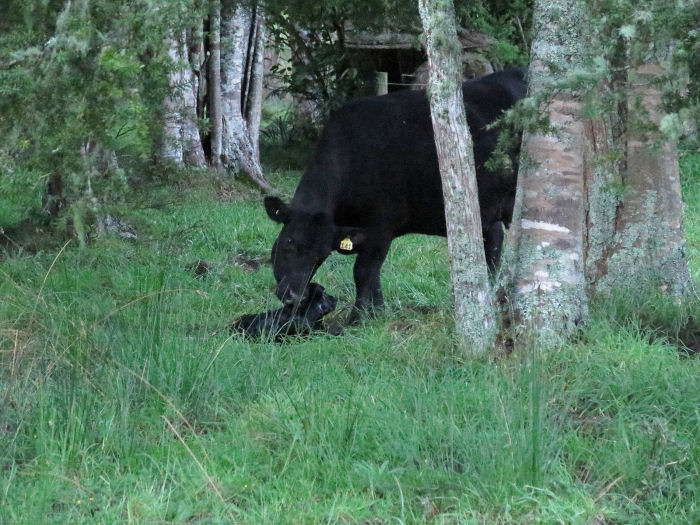 heifer and calf