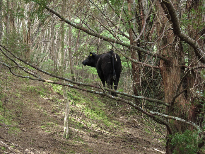 cow in the scrub