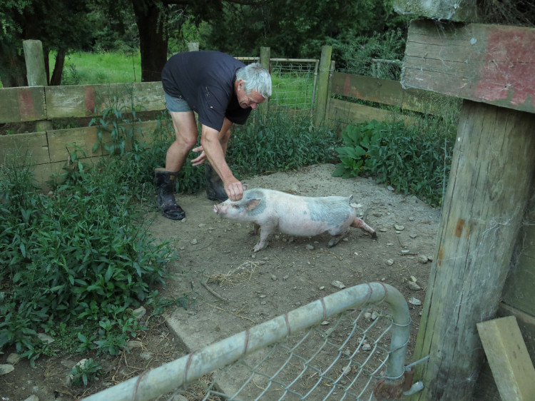 man and pig
