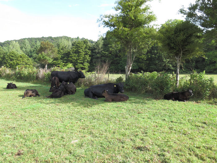 cattle in the shade