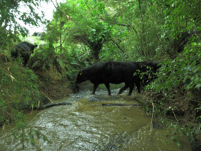 heifers crossing stream