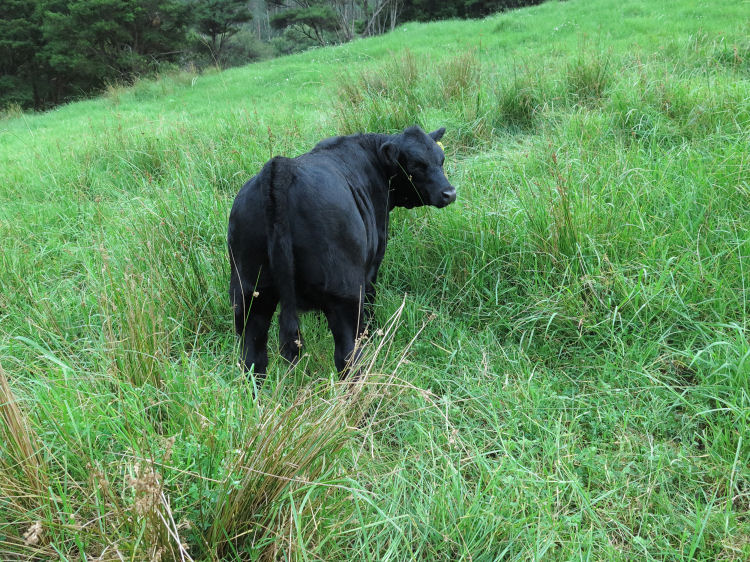 heifer in long Kikuyu grass