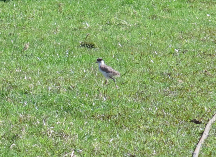 Spur-winged Plover chick