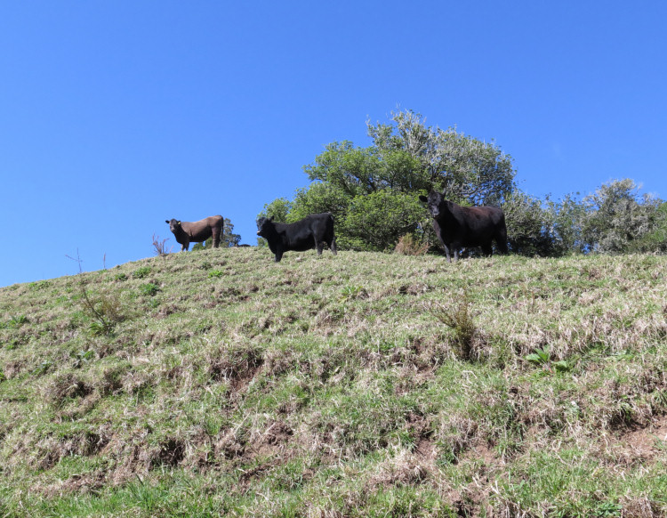 heifers on a hill