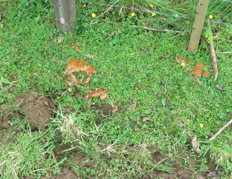 calf faeces