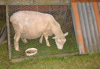 a caged ewe