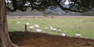 ewes in the house paddock