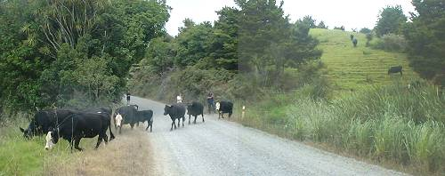moving the cattle across the road