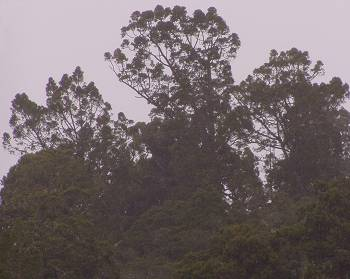 Kauri on the skyline