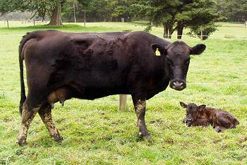 418 and newborn calf