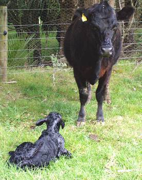 449 and her new heifer calf