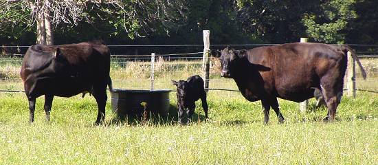 Ida, her calf and Ivy, in labour