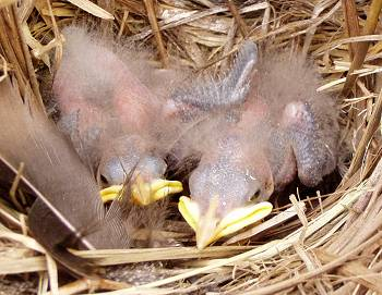 Starling chicks