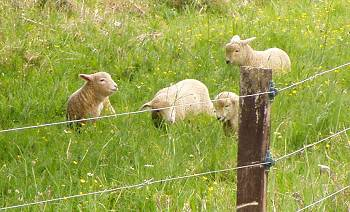 lambs on the riverbank