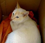 Noddy, the red-point Siamese cat