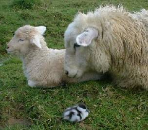 a ewe, a lamb and a Paradise Duckling