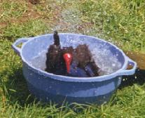 Pukeko bathing in a bowl