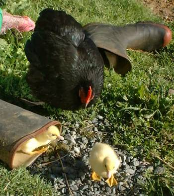 duckling confuses red & black gumboot with red and black hen
