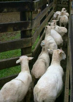 lambs in the cattle race