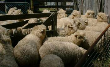woolly sheep all ready for the shearer