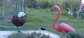 Ms Duck and a Flamingo