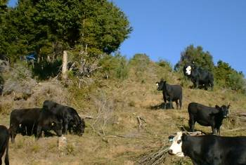 cattle coming down the hill