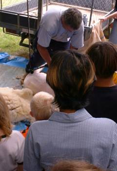 shearing a sheep for the assembled crowd