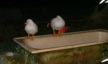 sleeping ducks on the side of the bath in the garden