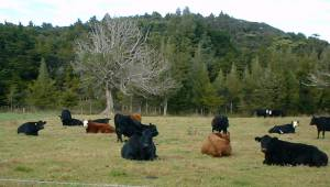 cows, sitting