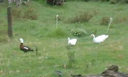 Muscovy ducks investigating a wild Paradise female