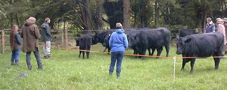 Angus cattle and Angus breeders